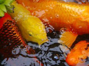 Comment se lancer dans l'élevage de poisson ?